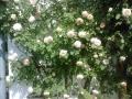 roze-1jpg